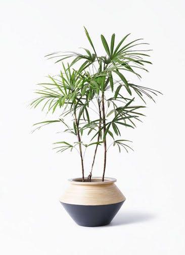 観葉植物 シュロチク(棕櫚竹) 8号 アルマジャー 黒 付き