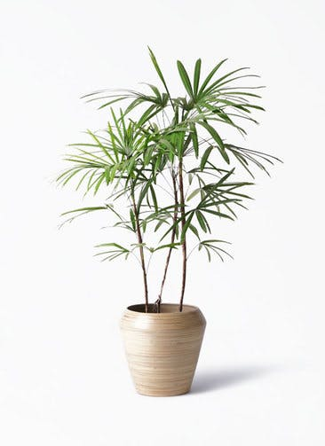 観葉植物 シュロチク(棕櫚竹) 8号 アルマ ミドル 付き