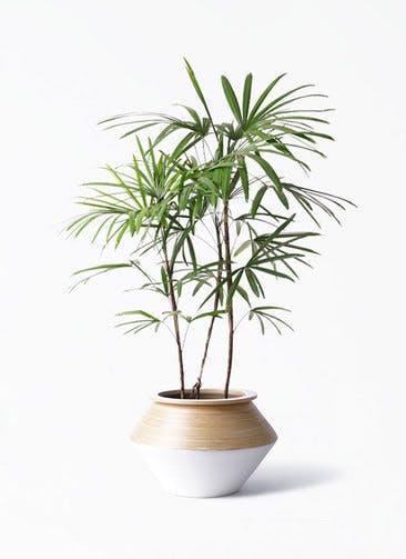 観葉植物 シュロチク(棕櫚竹) 8号 アルマジャー 白 付き