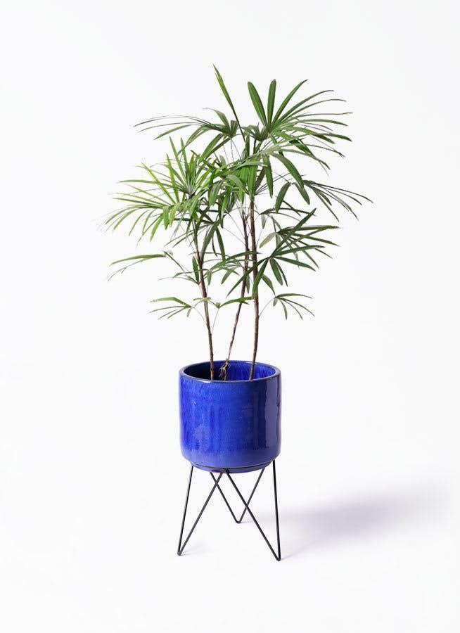 観葉植物 シュロチク(棕櫚竹) 8号 ビトロ エンデカ ブルー アイアンポットスタンド ブラック 付き