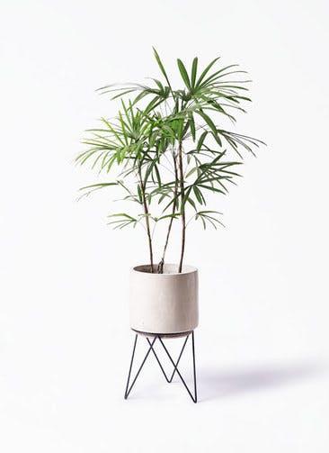 観葉植物 シュロチク(棕櫚竹) 8号 ビトロ エンデカ クリーム アイアンポットスタンド ブラック 付き