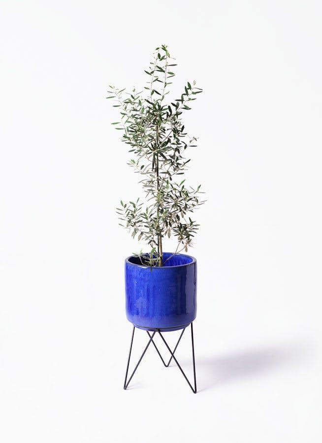 観葉植物 オリーブの木 8号 チプレッシーノ ビトロ エンデカ ブルー アイアンポットスタンド ブラック 付きチプレッシーノ