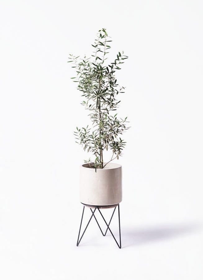 観葉植物 オリーブの木 8号 チプレッシーノ ビトロ エンデカ クリーム アイアンポットスタンド ブラック 付き
