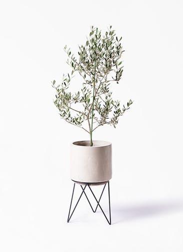 観葉植物 オリーブの木 8号 ルッカ ビトロ エンデカ クリーム アイアンポットスタンド ブラック 付き