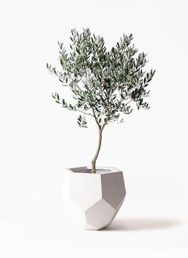 観葉植物 オリーブの木 8号 創樹 ポリゴヘクサ 白 付き