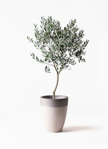 観葉植物 オリーブの木 8号 創樹 ファイバーストーンカプリ サンディホワイト 付き