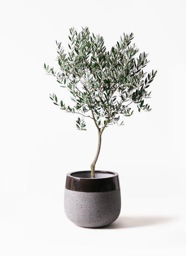 観葉植物 オリーブの木 8号 創樹 ファイバーストーンタウルス 黒 付き