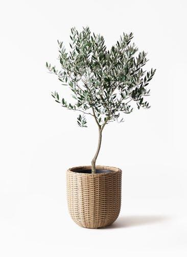 観葉植物 オリーブの木 8号 創樹 ウィッカーポットエッグ ベージュ 付き