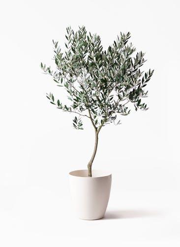 観葉植物 オリーブの木 8号 創樹 ラスターポット 付き