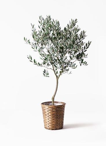 観葉植物 オリーブの木 8号 創樹 竹バスケット 付き
