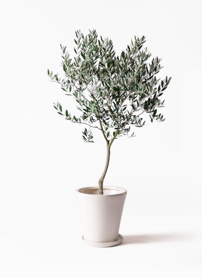 観葉植物 オリーブの木 8号 創樹 サブリナ 白 付き