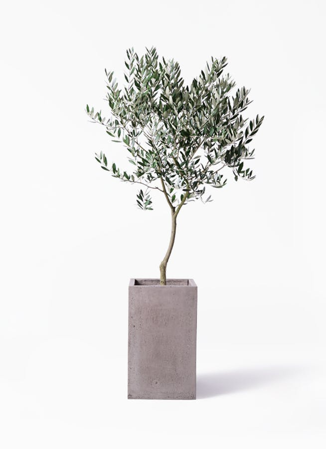 観葉植物 オリーブの木 8号 創樹 セドナロング グレイ 付き