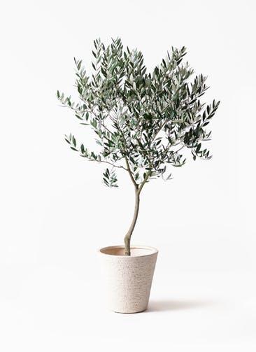 観葉植物 オリーブの木 8号 創樹 ビアスソリッド 白 付き