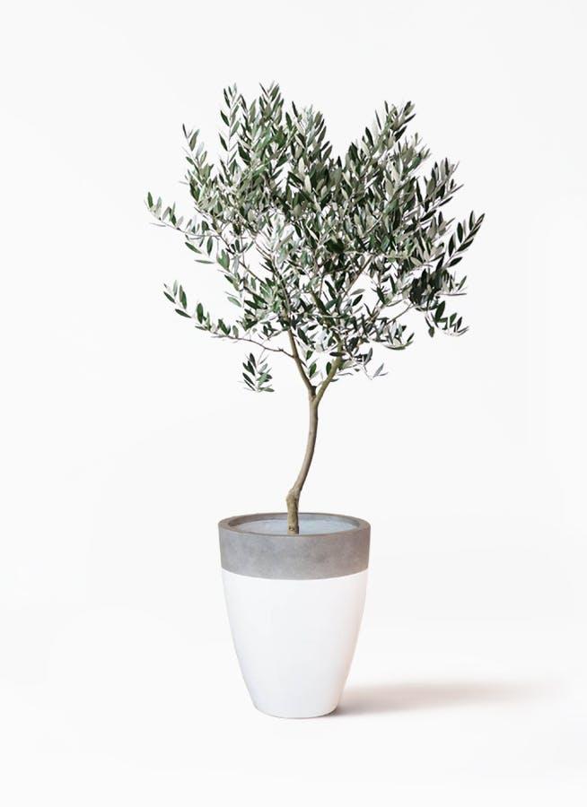 観葉植物 オリーブの木 8号 創樹 ファイバーストーンカプリ 白 付き