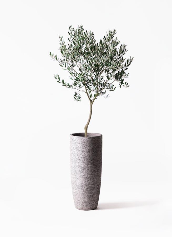 観葉植物 オリーブの木 8号 創樹 エコストーントールタイプ Gray 付き