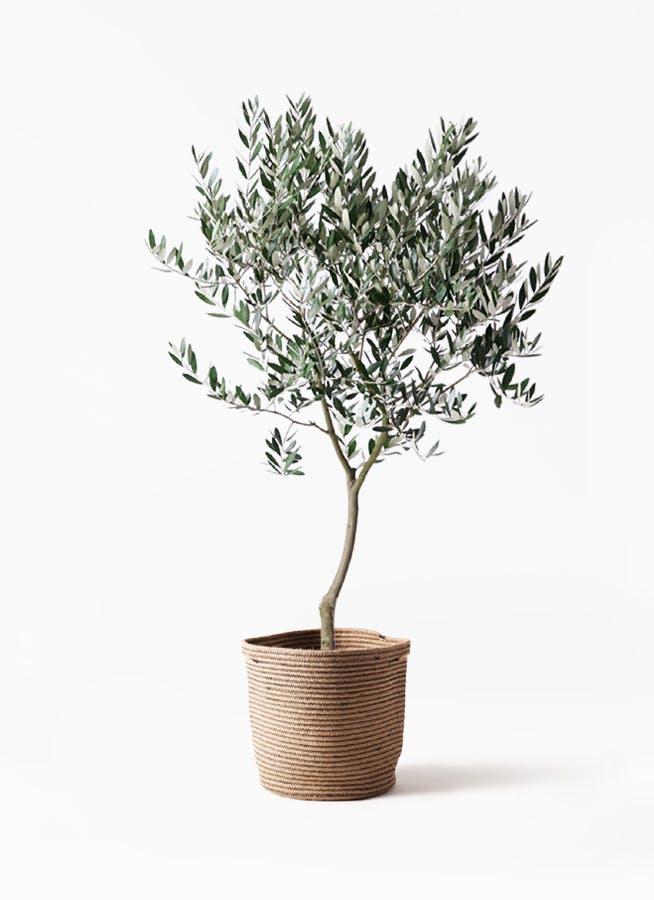 観葉植物 オリーブの木 8号 創樹 リブバスケットNatural 付き