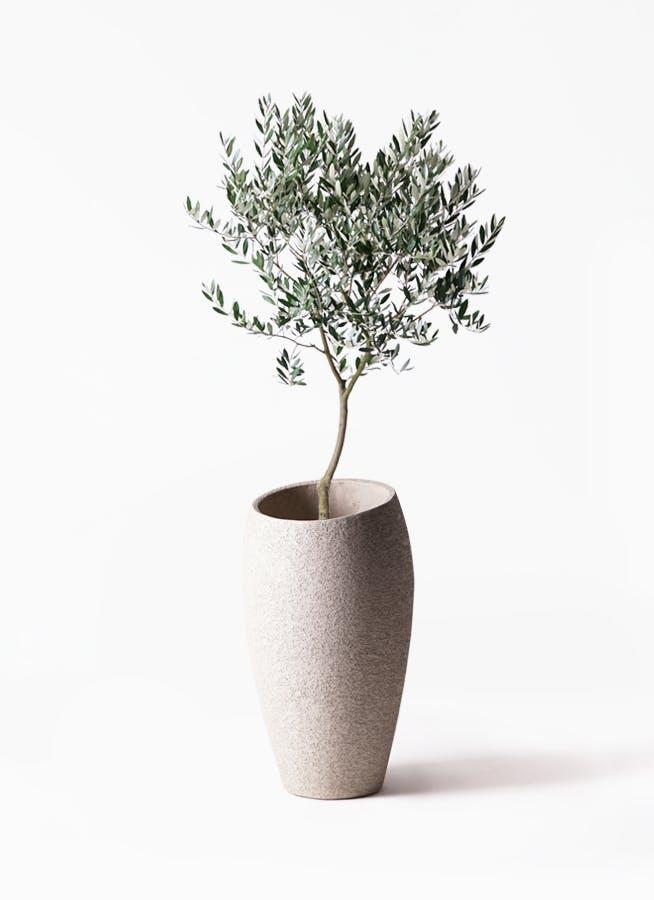 観葉植物 オリーブの木 8号 創樹 エコストーントールタイプ Light Gray 付き