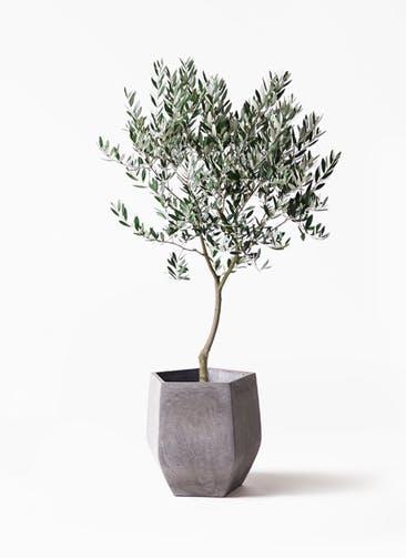 観葉植物 オリーブの木 8号 創樹 ファイバークレイ Gray 付き