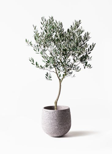 観葉植物 オリーブの木 8号 創樹 エコストーンGray 付き