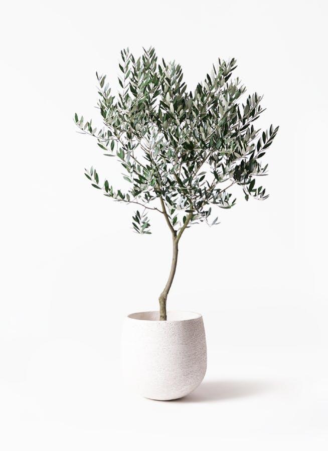 観葉植物 オリーブの木 8号 創樹 エコストーンwhite 付き