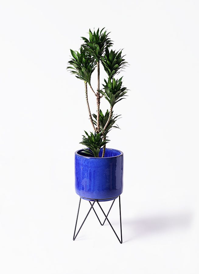 観葉植物 ドラセナ コンパクター 8号 ビトロ エンデカ ブルー アイアンポットスタンド ブラック 付き