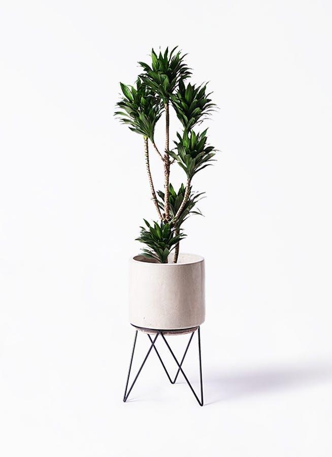 観葉植物 ドラセナ コンパクター 8号 ビトロ エンデカ クリーム アイアンポットスタンド ブラック 付き