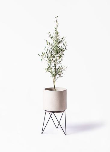 観葉植物 オリーブの木 8号 コロネイキ ビトロ エンデカ クリーム アイアンポットスタンド ブラック 付き