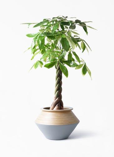 観葉植物 パキラ 8号 ねじり アルマジャー グレー 付き