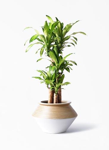 観葉植物 ドラセナ 幸福の木 8号 ノーマル アルマジャー 白 付き