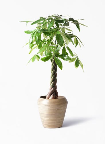 観葉植物 パキラ 8号 ねじり アルマ ミドル 付き