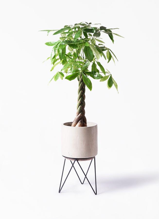 観葉植物 パキラ 8号 ねじり ビトロ エンデカ クリーム アイアンポットスタンド ブラック 付き