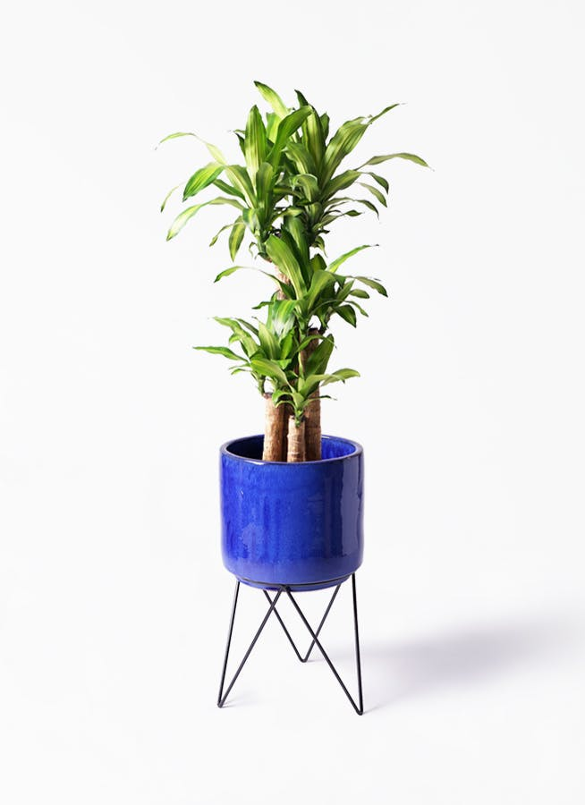 観葉植物 ドラセナ 幸福の木 8号 ノーマル ビトロ エンデカ ブルー アイアンポットスタンド ブラック 付き