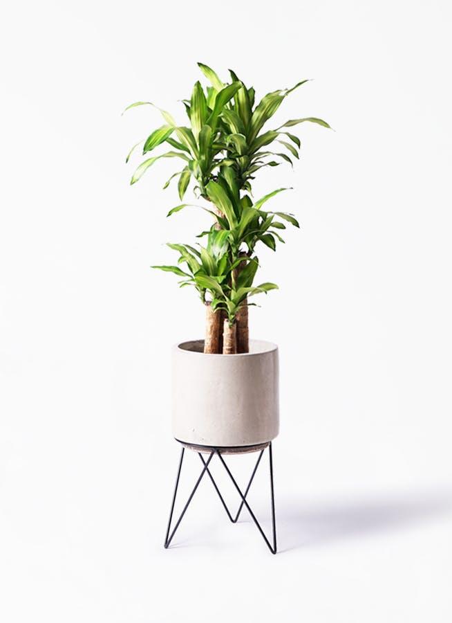 観葉植物 ドラセナ 幸福の木 8号 ノーマル ビトロ エンデカ クリーム アイアンポットスタンド ブラック 付き