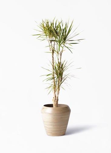 観葉植物 ドラセナ コンシンネ 8号 アルマ ミドル 付き