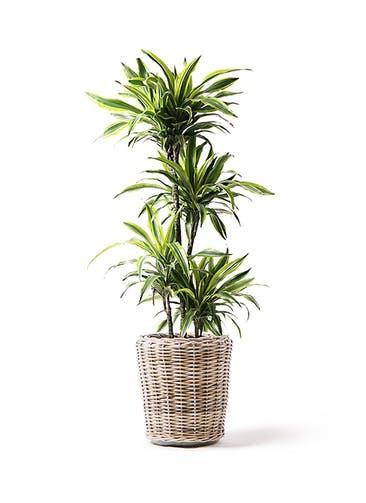 観葉植物 ドラセナ ワーネッキー レモンライム 10号 モンデリック ラタン 付き