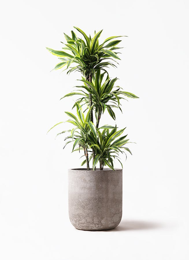 観葉植物 ドラセナ ワーネッキー レモンライム 10号 エルバ 白 付き