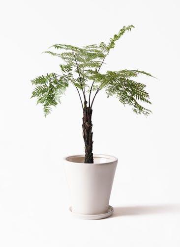 観葉植物 ヘゴ 8号 サブリナ 白 付き