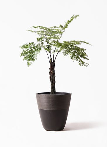 観葉植物 ヘゴ 8号 ジュピター 黒 付き