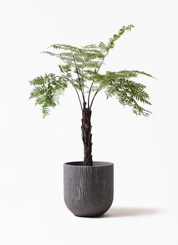 観葉植物 ヘゴ 8号 カルディナダークグレイ 付き