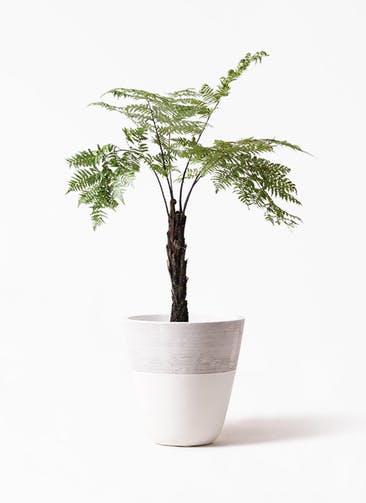 観葉植物 ヘゴ 8号 ジュピター 白 付き