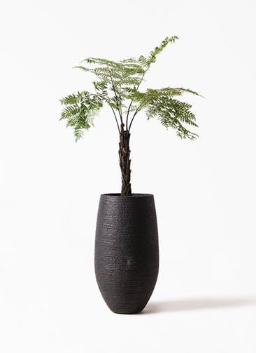 観葉植物 ヘゴ 8号 フォンティーヌトール 黒 付き