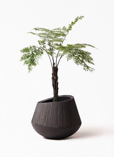 観葉植物 ヘゴ 8号 エディラウンド 黒 付き