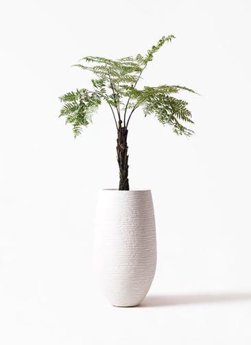 観葉植物 ヘゴ 8号 フォンティーヌトール 白 付き