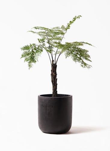 観葉植物 ヘゴ 8号 エルバ 黒 付き