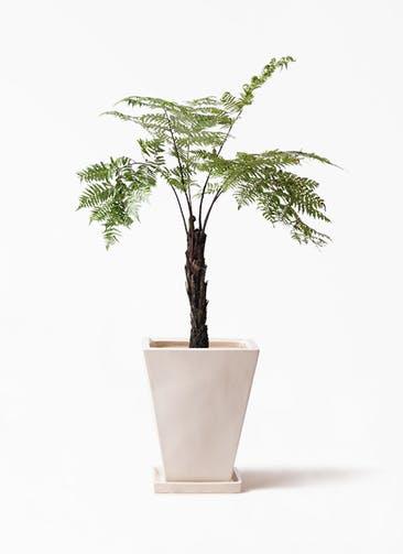 観葉植物 ヘゴ 8号 スクエアハット 白 付き