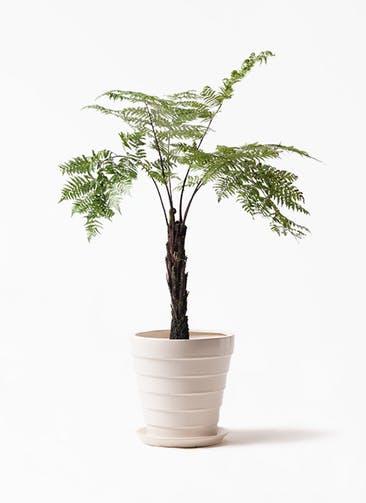 観葉植物 ヘゴ 8号 サバトリア 白 付き