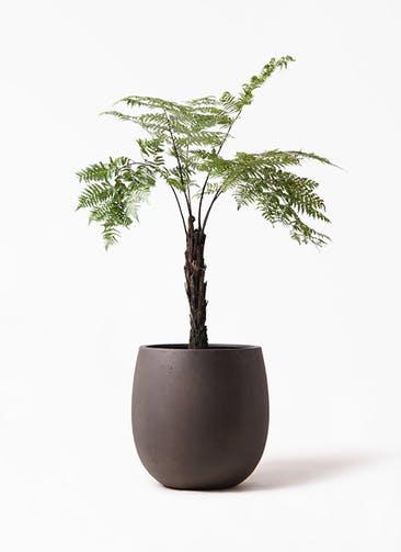観葉植物 ヘゴ 8号 テラニアス バルーン アンティークブラウン 付き