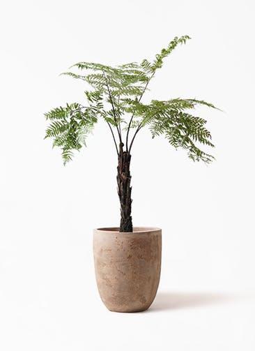 観葉植物 ヘゴ 8号 ルーガ アンティコ アルトエッグ 付き
