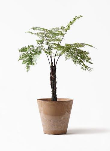観葉植物 ヘゴ 8号 アートストーン ラウンド ベージュ 付き