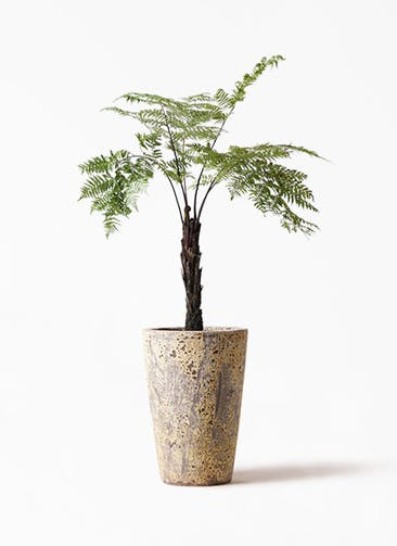 観葉植物 ヘゴ 8号 アトランティス クルーシブル 付き